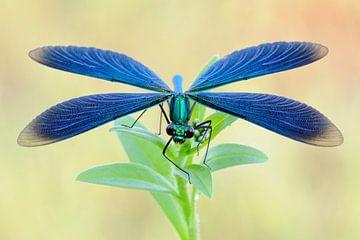 dragonfly... Beautiful Demoiselle *Calopteryx virgo* van