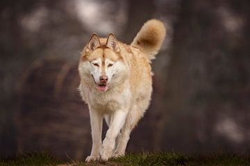 Le husky sibérien Nanook sur Petra Lakerveld