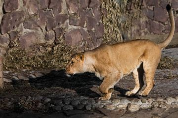 se faufiler et se préparer pour le saut. Une belle lionne jaune, puissante et pleine d'entrain, marc sur Michael Semenov