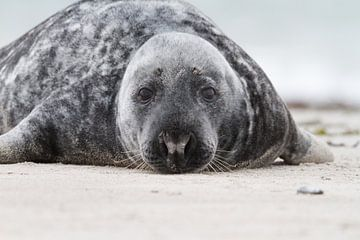 Grijze zeehond van Rick Willemsen