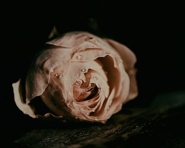 rosa von Saskia Schotanus