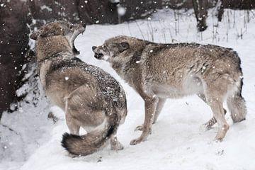 Boos gevecht van de wolven, grijnzende tanden, snelle bewegingen woede en woede. De winter, het snee van Michael Semenov