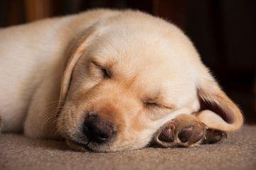 slapend blond labrador puppy van Annelies Cranendonk