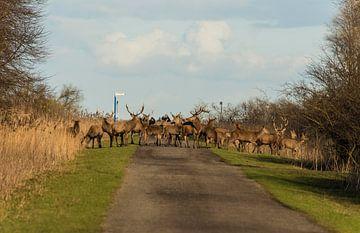 Edelherten in de Oostvaardersplassen steken het pad over van Brian Morgan