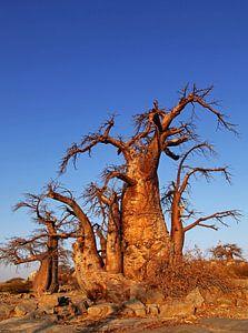 Baobabs auf Kubu Island, Botswana
