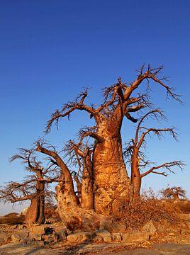Baobabs auf Kubu Island, Botswana von W. Woyke