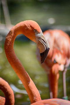 Flamingo von FotoGraaG Hanneke