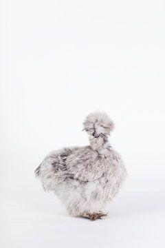 Seidenhenne Hannah von Janine Bekker Photography