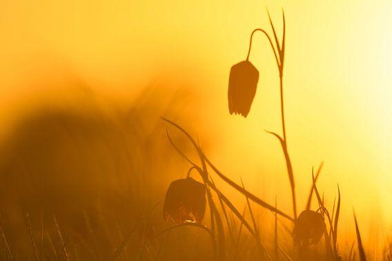 Wilde Kievitsbloemen in een weiland tijdens zonopgang in het voorjaar