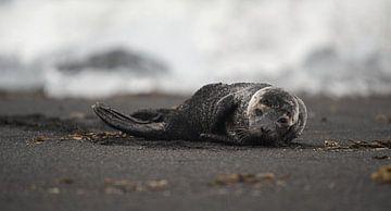 zeehond in IJsland van mathis_vdm