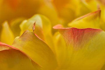 Details geel roze roos bladeren van JM de Jong-Jansen