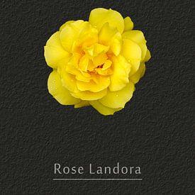 Rose Landora von Leopold Brix