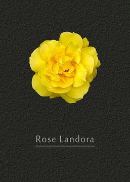 Rose Landora van Leopold Brix