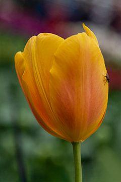Eine schwarze Fliege, die auf einer gelb-orangen Tulpe ruht von Digikhmer