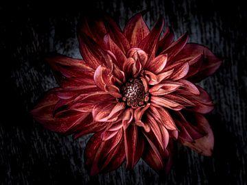 Black dahlia van Christl Deckx