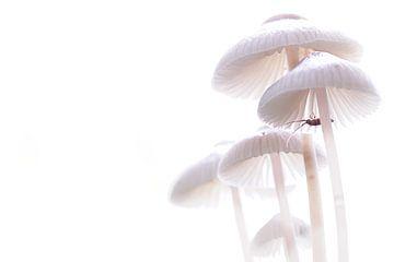 Mycena's in tegenlicht von Frouwkje Fotografie