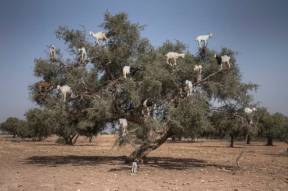 Tree Goats van BL Photography