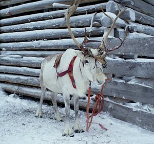Rendier in de sneeuw van
