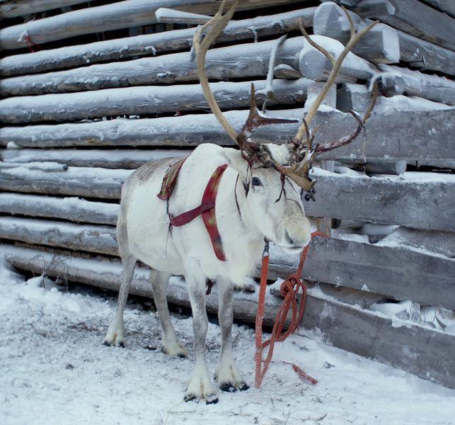 Rendier in de sneeuw