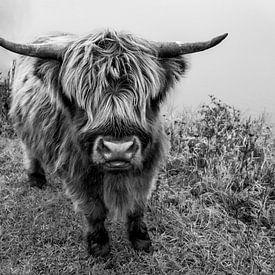Nieuwsgierige Schotse Hooglander van Yoni van Haarlem