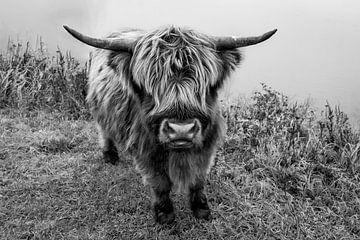 Neugieriger schottischer Highlander von Yoni van Haarlem
