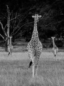 Slanke giraffen van