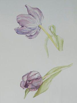 Lila tulpen van
