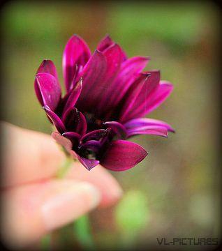 bloempje von Vl-pictures Vera-linde