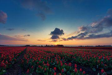 Tulpen bij zonsopkomst van Harmen Mol