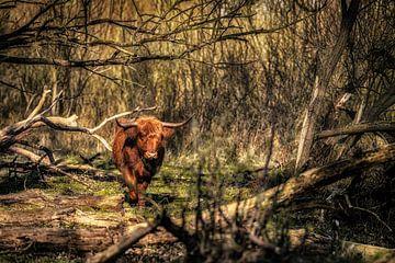 Schotse Hooglander in verwilderd bos van Jari Mulder