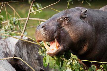 Close-up snuit van een dwerg Liberiaans nijlpaard, portret. een schattig klein vet nijlpaard dat gro van Michael Semenov