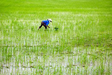 rijstveld in Vietnam van ard bodewes