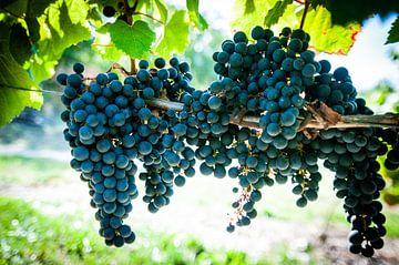 Wijngaard van Stefan Witte