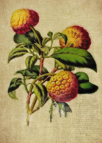Dennenappels - Antieke tekening van dennenappels van Jan Keteleer