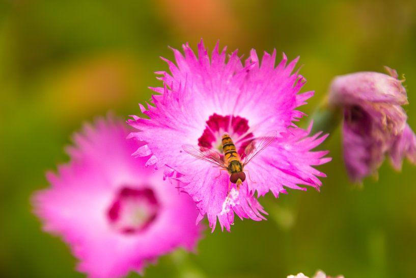 Zweefvlieg op een bloem van Koop je Canvas