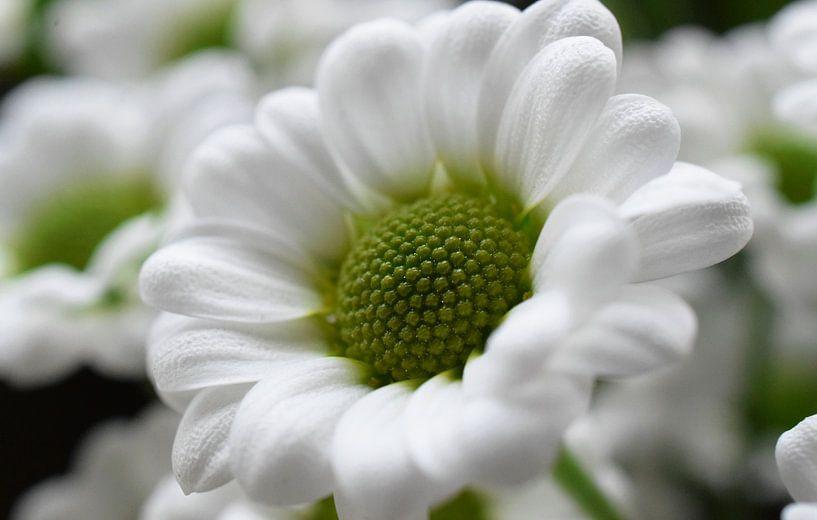 Witte bloem van Tashina van Zwam