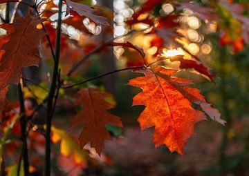 Nahaufnahme des roten Herbstlaubs mit Bokeh im Hintergrund von Gea Gaetani d'Aragona