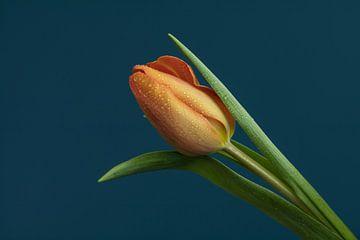 Oranje Tulp met dauwdruppels van Marianne Twijnstra-Gerrits