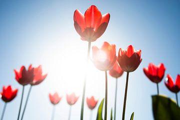 Tulpen in brandende zon sur