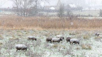 Schapen-sneeuw in de Zwaakse Weel van Fotografie in Zeeland