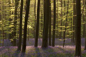 Voorjaar in het Hallerbos