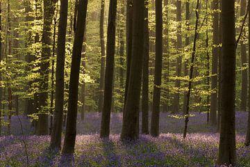 Voorjaar in het Hallerbos van Hans Koster