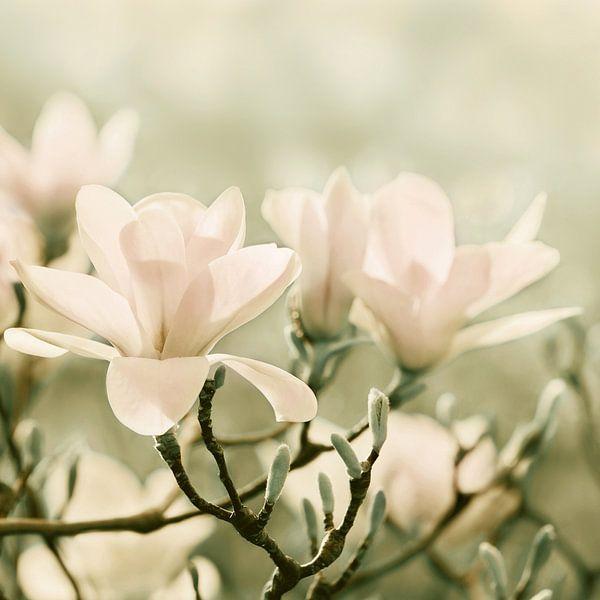 Magnolien van Violetta Honkisz