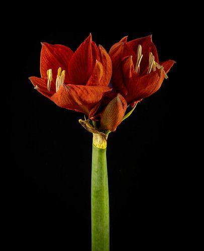 Rode amaryllis op stengel