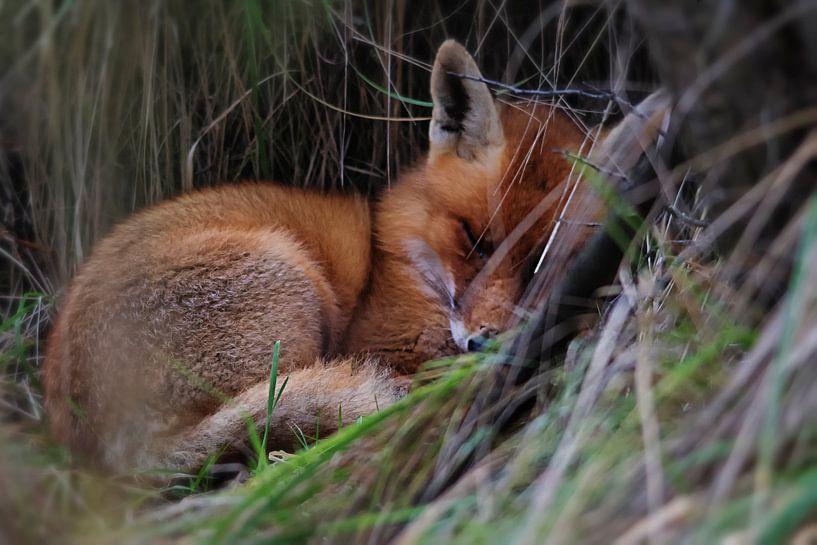 Het slapende vosje van Bert van Beek