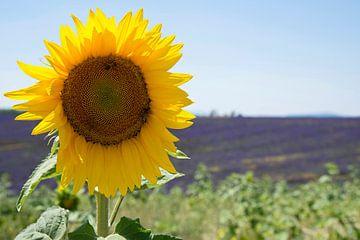 Zonnebloem met lavendelveld van Barbara Brolsma
