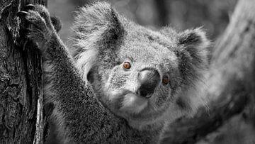 Das rote Auge des Koalas von Be More Outdoor