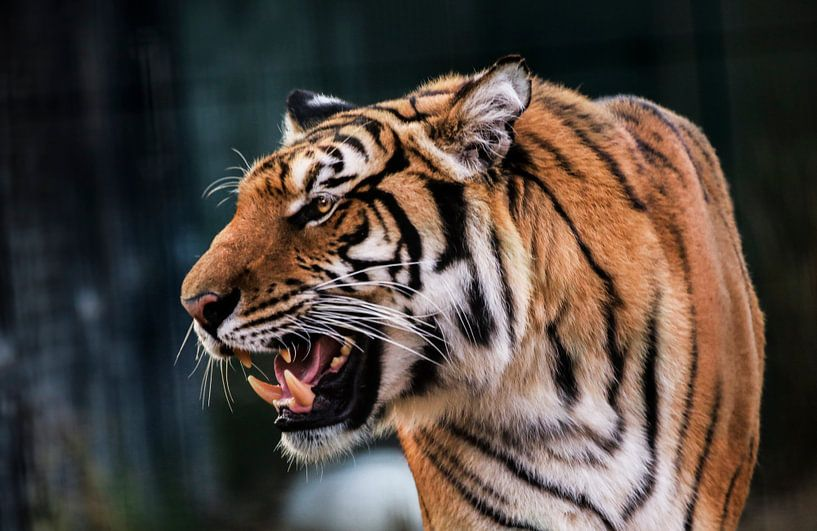 Growling tiger van Mark Zanderink