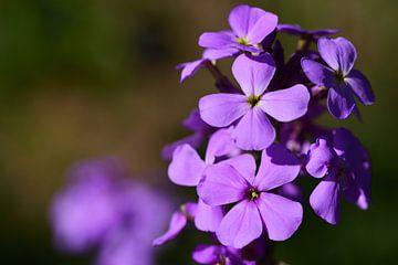 Nahaufnahme einer lila Nachtviole von Ulrike Leone
