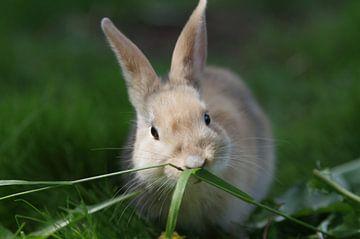 Jong bruin konijn eet gras van cuhle-fotos